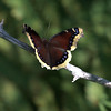 Mourning Cloak butterfly Phippsburg Maine