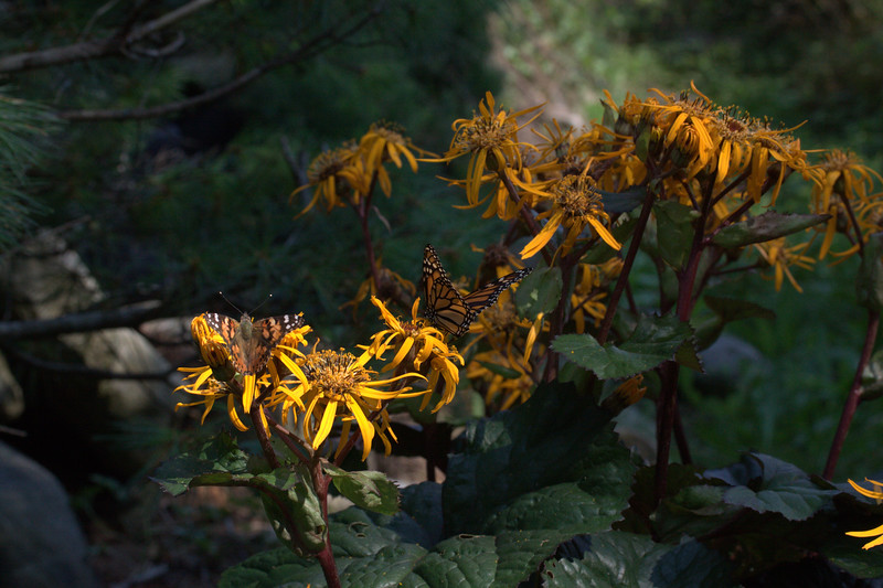 American Lady and Monarch butterflies feasting on nectar of Ligularia Desdemona, Phippsburg Maine. The butterflies are nicely camouflaged by their colors with this garden perennial flower.