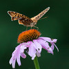 Great Spangled Fritillary butterfly on Purple Cone Flower, echinacea, Mid July Phippsburg Maine. Raggedy is as raggedy does! The blossom and the butterfly have both taken a beating.