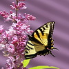 Canadian Tiger  Swallowtail butterfly on pink, James MacFarland lilac, May, Phippsburg Maine , Maine butterfly