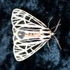 Virgin Tiger moth, Gammia vergo , Maine butterfly