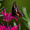 Black Swallowtail butterfly, PHippsburg Maine , Maine butterfly