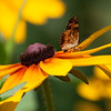 American Copper butterfly, Lycaena phlaeas on Black Eyed Susans, mid July, Phippsburg, Maine