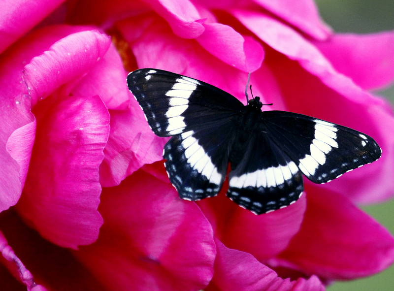 White Admiral butterfly, dorsal view on peony, Phippsburg, Maine , Maine butterfly