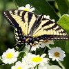 Eastern Swallowtail on white, Feverfew blossoms, Phippsburg Maine coastal garden<br /> Note: this could be a Canadian Tiger Swallowtail butterfly. The extensive blue on the hind wings suggests to me that is the Eastern. Thoughts on this subject would be appreciated. , Maine butterfly