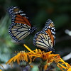 double Monarch butterfly, flight Duet, ventral views, on Desdemona ligularia, Phippsburg Maine , Maine butterfly