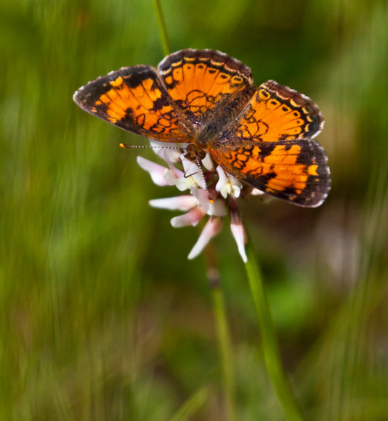 Silvery Checkerspot butterfly on White clover, Phippsburg, Maine June , Maine butterfly