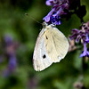 White Cabbage butterfly, Phippsburg Maine coastal garden, July, ventral view , Maine butterfly