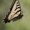 Canadian Tiger Swallowtail butterfly in flight, June, Phippsburg Maine , Maine butterfly