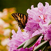 Eastern Swallowtail butterfly on rhododendron blossoms, Phippsburg Maine coastal garden , Maine butterfly