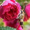 Hummingbird Clearwing Sphinx Moth on rose, Maine , Maine butterfly