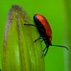 Scarlet Lily Beetle , Maine butterfly