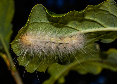 Virginia Tiger Moth caterpillar, Spilosoma virginica Phippsburg Maine early September