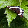White Admiral butterfly, dorsal view Phippsburg Maine, July , Maine butterfly