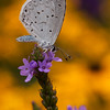 Summer Azure butterfly, Celastrina neglecta feeding on Verbena Hastata, a native Maine wildflower, Phippsburg Maine mid August