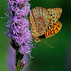 Great Spangled Fritillary on liatris, garden flower, Phippsburg Maine , Maine butterfly