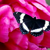 White Admiral on peony , Maine butterfly