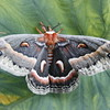 Cecrophia Moth , Maine butterfly