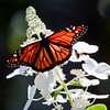 Monarch butterfly, dorsal view, feeding on Hydrangea blossoms, Phippsburg Maine garden August 2012 , Maine butterfly