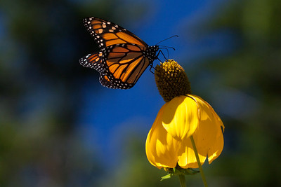 Monarch butterfly on Ratibida, also called Prairie Coneflower, a real butterfly magnet, especially for the migrators like this one. Phippsburg, Maine garden, September. Beware gardens that this plant grows to 8 feet or more tall!