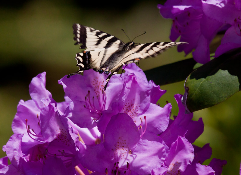 Canadian Tiger Swallowtail butterfly on pink rhododendron, coastal Maine Phippsburg, June , Maine butterfly