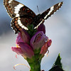 White Admiral, ventral view,  on pink turtlehead, Chelone, flower, blossom, Phippsburg Maine , Maine butterfly