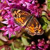 Pearl Crescent Butterfly on sedum , Maine butterfly