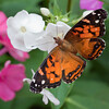 American Lady, Vanessa virginiensis feeding on phlox, coastal Maine, Phippsburg garden, July , Maine butterfly