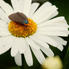 Virginia ctenucha moth feeding on the center of a Shasta daisy in my Phippsburg, Maine garden in July