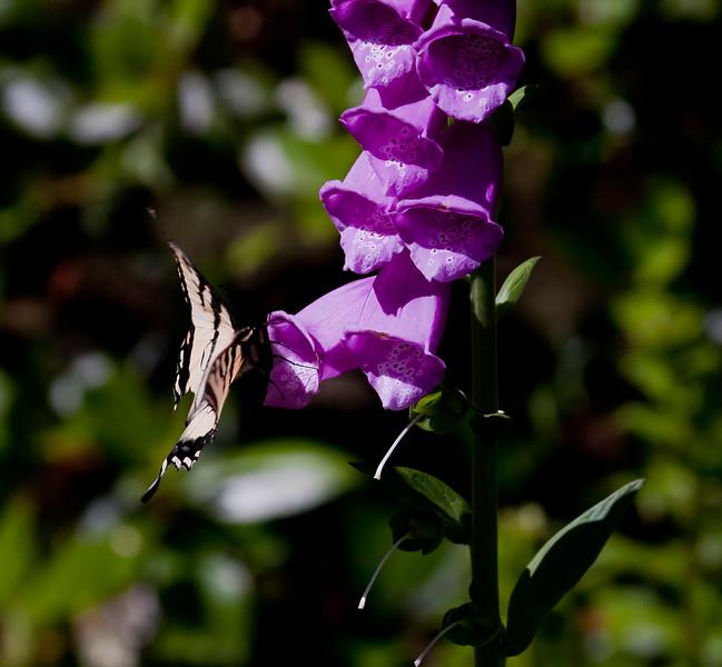 Eastern Swallowtail butterfly feeding on digitalis or Foxglove flowers, Phippsburg, Maine garden , Maine butterfly