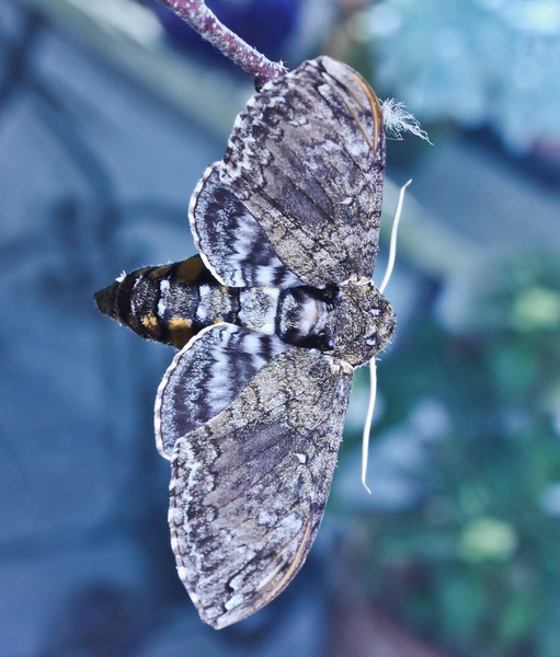 Five-spotted Sphinx Moth, Maine , Maine butterfly