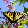 Eastern Swallowtail on pink lilac, spring, Phippsburg Maine , Maine butterfly