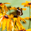 White Admiral butterfly on Black Eyed Susans, Rudbeckia hirta. Phippsburg, Maine, July, mid summer, 2013