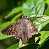 Silver Spotted Skipper butterfly, Phippsburg, Maine , Maine butterfly