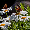 Red Admiral butterflies on daisies, Phippsburg Maine , Maine butterfly