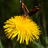 Red Admiral On Dandelion , Maine butterfly