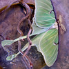 Luna moth, Phippsburg Maine May , Maine butterfly