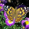Painted Lady, Hunter's Butterfly on New England asters, purple, coastal Maine garden, Phippsburg , Maine butterfly