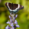 White Admiral butterfly, ventral view on blue Lobelia flower, Phippsburg Maine , Maine butterfly