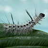 Hickory Tussock caterpillar, August 2012, Phippsburg Maine , Maine butterfly