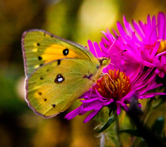 "Clouded Sulphur butterfly on asters, ""Alma Potsche,"" fall garden, coastal Phippsburg Maine , Maine butterfly"