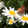 Great Spangled fritillary butterfly on daisies, Phippsburg Maine July , Maine butterfly