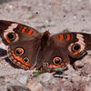 Common Buckeye butterfly, dorsal view, Phippsburg Maine , Maine butterfly