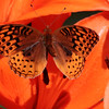 Great Spangled Fritillary buttterfly feeding on orange, Asiatic lily in my Phippsburg Maine garden