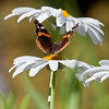 Red Admiral butterfly, doral view feeding on daisy Phippsburg Maine July , Maine butterfly