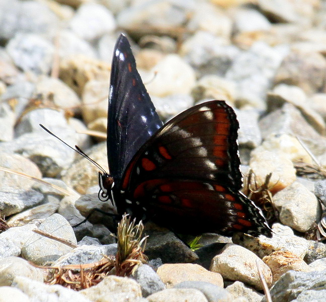 Red Admiral on rocks, ventral and partial dorsal view, Phippsburg Maine , Maine butterfly