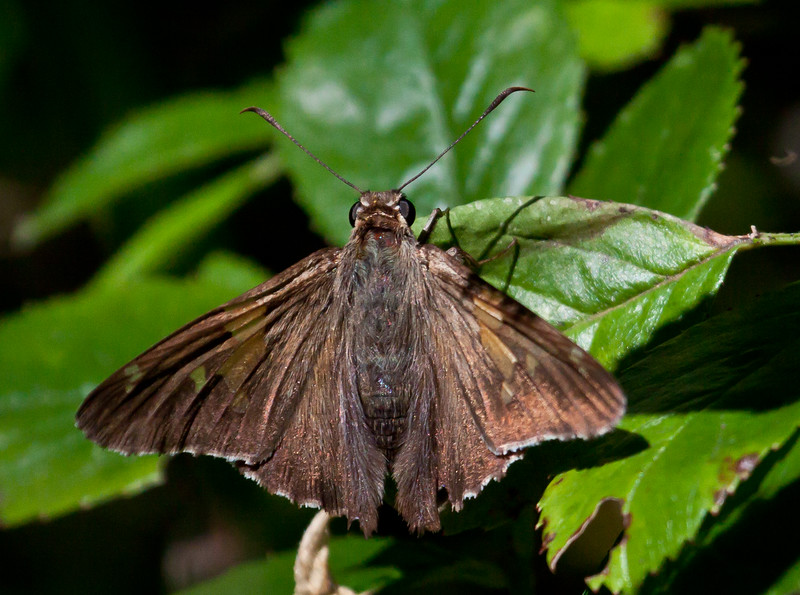 Silver-spotted skipper, dorsal view, Phippsburg Maine July , Maine butterfly