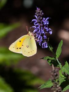 Orange Sulphur butterfly in Phippsburg Garden, late summer, end of September