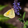 Orange Sulphur butterfly in Phippsburg Garden, late summer, end of September