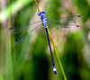 Blue-fronted Dancer damselfly, dragonfly, Argia apicalis,  Phippsburg, Maine